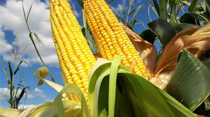 UGA розглядає реальні, малоймовірні обмеження на експорт кукурудзи з України