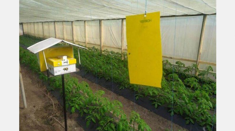 В Україні тепличні помідори та огірки запилюються голландськими бджолами