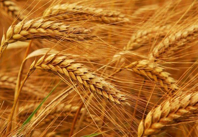 Посів ранньовесняних зернових культур в Україні майже завершений - ринки збуту